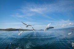 Gaivotas que voam após o barco no Lago Baikal fotos de stock royalty free