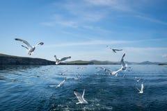 Gaivotas que voam após o barco no Lago Baikal imagem de stock