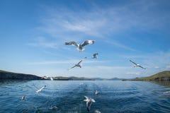 Gaivotas que voam após o barco no Lago Baikal fotografia de stock