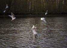 Gaivotas que voam sobre o rio foto de stock royalty free