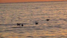 Gaivotas sobre a superfície do mar no por do sol video estoque
