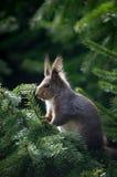 Gajo retroiluminado do esquilo Fotografia de Stock