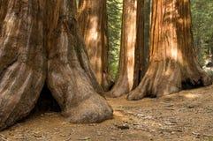 gaju mariposa redwood drzewa Yosemite Fotografia Stock