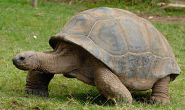 Galápagos giant tortoise. (Chelonoidis nigra Stock Photography