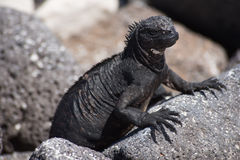 Galápagos marine iguana royalty free stock photo