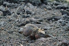 Galápagos Marine Iguana que descansa em rochas fotografia de stock royalty free