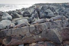Galápagos Marine Iguana que descansa em rochas da lava fotos de stock