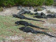 Galápagos Marine Iguanas Foto de Stock Royalty Free