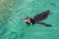The Galápagos penguins can speed up swimming quickly stock photography