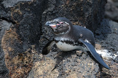 Galápagos Pengunin em uma rocha Imagens de Stock