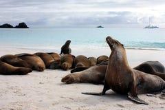 Galápagos sea lion Stock Images