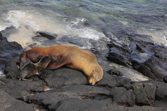 Galápagos Sea Lion. Sea Lion with pup asleep on rocks with water Royalty Free Stock Photos