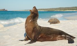 Galápagos sea lion Zalophus wollebaeki. Galápagos sea lion Zalophus wollebaeki - large male posing on the beach in beatiful sun Royalty Free Stock Photos