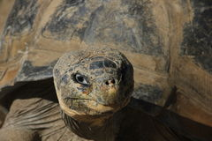 A Galápagos tortoise Stock Images