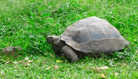 Galápagos turtle Stock Images