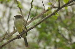 The Galápagos Flycatcher in Santa Cruz Island Royalty Free Stock Photos