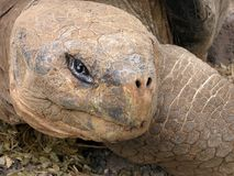 Galápagos Tortoise Royalty Free Stock Photography