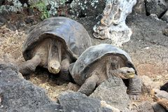 Galápagos tortoise Stock Photos
