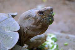 Galápagos tortoise Royalty Free Stock Photos