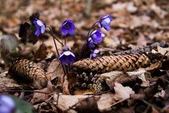 Galà ¡ nthus花在森林里 免版税库存照片
