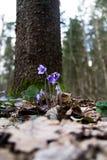 Galà ¡ nthus kwiat w lesie zdjęcie royalty free