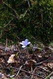 Galà ¡ nthus kwiat w lesie zdjęcie stock