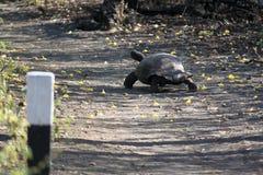 Galà ¡ pagos巨型草龟(加拉帕戈斯,厄瓜多尔) 免版税图库摄影