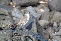 Galà ¡ pagos模仿鸟(加拉帕戈斯,厄瓜多尔) 免版税库存照片