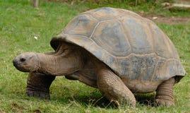 Galà ¡ pagos gigantyczny tortoise Fotografia Stock