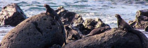 Galà ¡ pagos Marine Iguanas Royaltyfri Fotografi