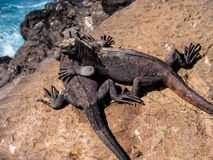 Galà ¡ pagos Marine Iguanas Arkivbilder
