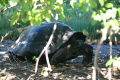 GalÃ-¡ pagos riesige Schildkröte (Galapagos, Ecuador) Stockfotografie