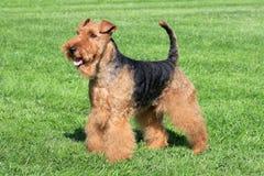 Galês Terrier típico em um jardim do verão fotos de stock royalty free