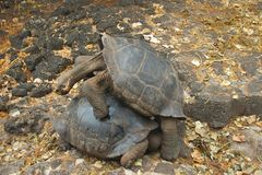 Galápagos Giant Tortoises Mating in Santa Cruz Island Royalty Free Stock Photos