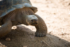 Galápagos tortoise Royalty Free Stock Images