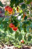 Galaäpfel in einem Michigan-Obstgarten Lizenzfreie Stockfotos