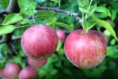 Gala Apple Lizenzfreie Stockbilder