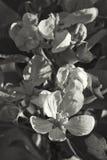 Gala Apple Blossoms - pumila do Malus em tons do Sepia imagem de stock royalty free