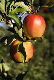 Gala Apples. Two gala apples in the tree in the autumn Royalty Free Stock Images