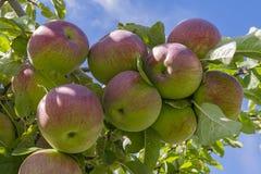 Gala Apples auf dem Baum Okanagan-Tal nahe Kelowna-Britisch-Columbia Kanada Lizenzfreie Stockfotos