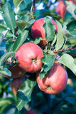 Gala apples on the branch Royalty Free Stock Images