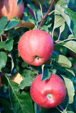 Gala apples on the branch Stock Photo