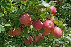 Gala apples branch. Stock Image