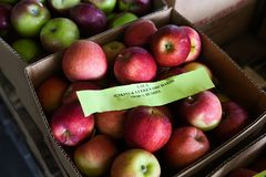 Gala apples at the farm Stock Photo