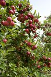 Red Gala apples branchgrowing in Australia. stock photo