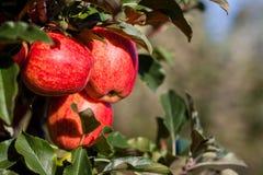 Gala Apples real fotografía de archivo libre de regalías