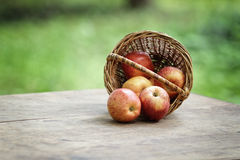 Gala apples in a wicker basket Stock Image