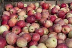 Gala apples in bin. Royalty Free Stock Photo
