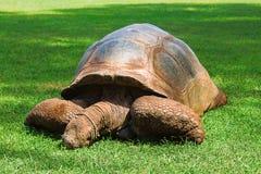 Gala? pagos riesige Schildkröte, Chelonoidis-Nigra, Kenia stockfotografie