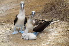 Gala portrait of blue footed boobies. Series Family portraits of Blue-footed boobies Stock Photo